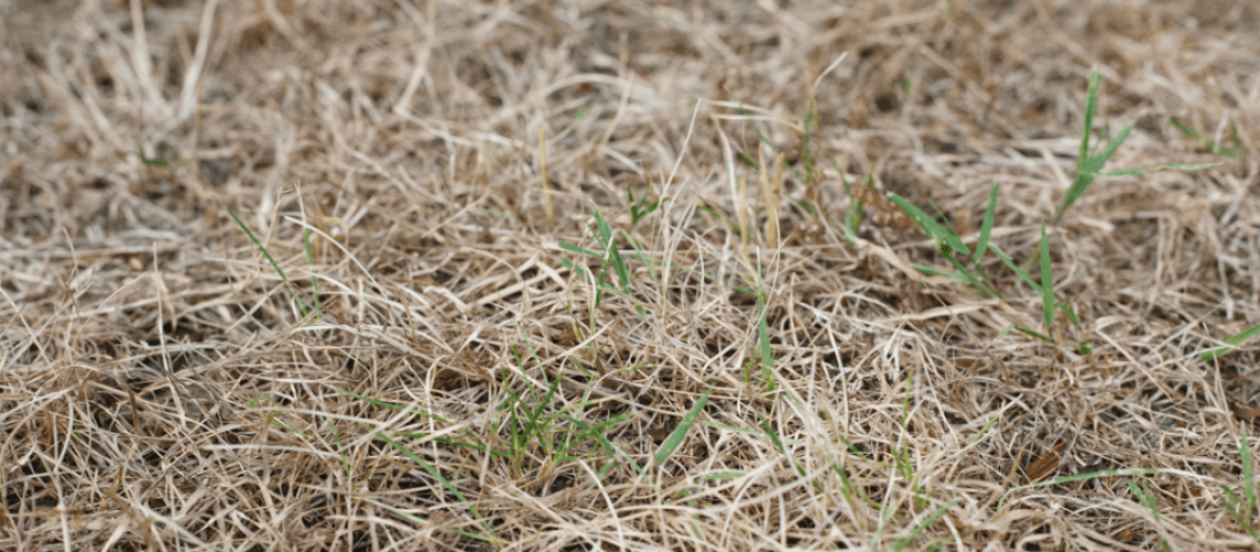is-reviving-a-dead-lawn-possible-here-are-some-considerations-1024x520